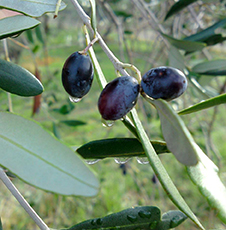 oliveti-le-farnete